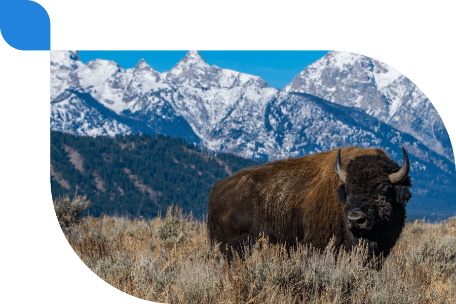 bison roaming the plains with mountains in the distance