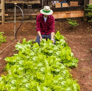 person tending to spinach plants